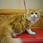 看板猫 スコティッシュフォールドの麦ちゃんのご紹介